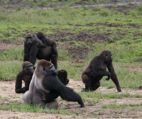 Ebola has profound effects on wildlife population dynamics