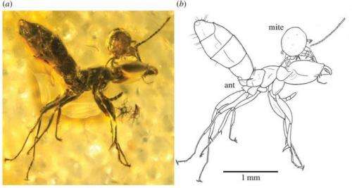 50 million year old mite attached to ant head found in piece of amber
