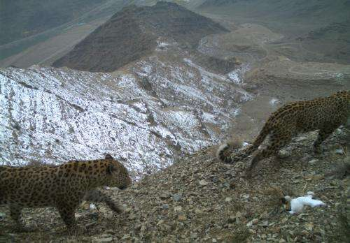Endangered leopard images are proof of conservation progress in Caucasus