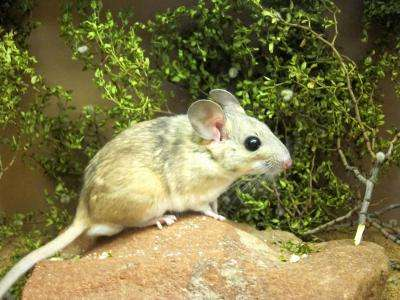 Fecal transplants let packrats eat poison
