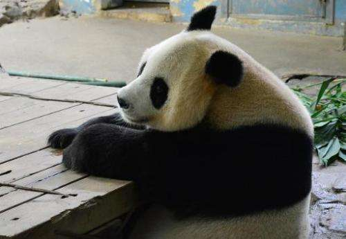 Female panda Juxiao, who gave birth to panda triplets on July 29, 2014 at a safari park in the Chinese city of Guangzhou