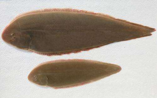Two papers unraveled the mystery of sex determination and benthic adaptation of the flatfish
