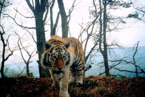 For tiger populations, a new threat