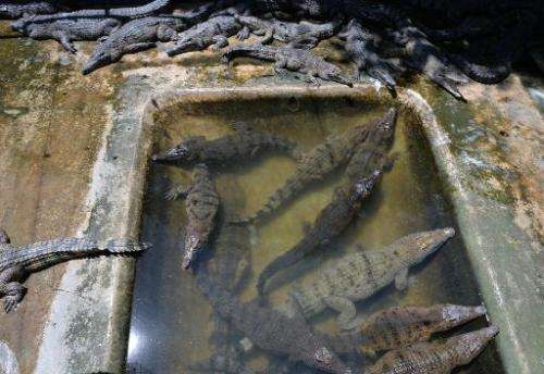 Freshwater crocodiles cool themselves inside a pen at a crocodile farm in Puerto Princesa, Palawan island on June 5, 2014