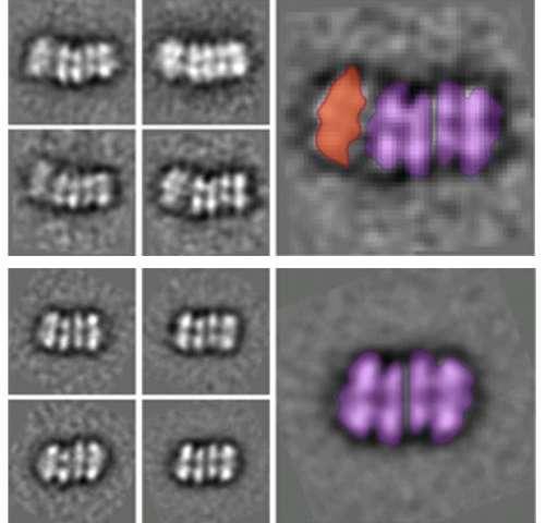 DNA replication of eukaryotes  Genesisofthe