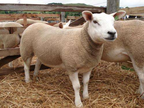 Gene study shows how sheep first separated from goats