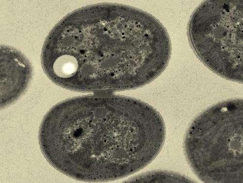 Genetic engineering increases yield of biodegradable plastic from cyanobacteria