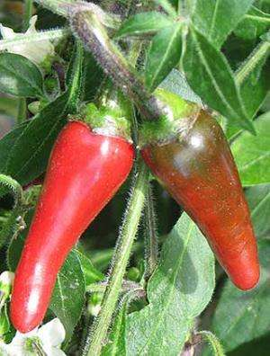 Genome sequencing reveals what puts the 'heat' in hot peppers