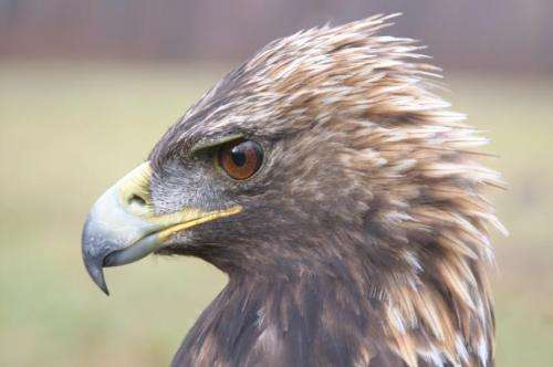 Genome yields insights into golden eagle vision, smell