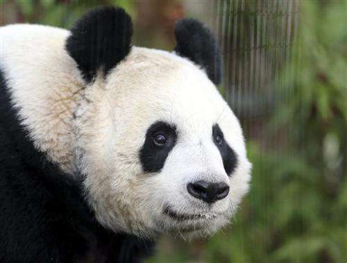 Giant panda 'believed' pregnant at Edinburgh Zoo (Update)