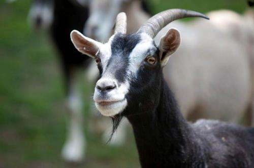 Goats are far more clever than previously thought