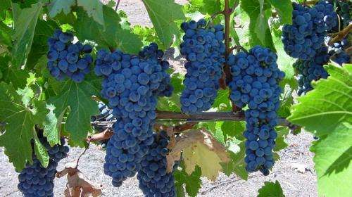 Grapevine origins examined for better drop