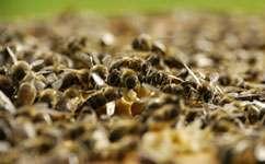 Honeybee homing hampered by parasite