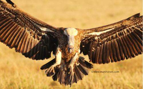 How can we help endangered vultures?