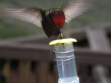 How hummingbirds evolved to detect sweetness