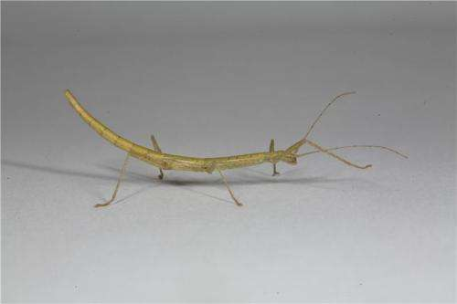 How stick insects honed friction to grip without sticking