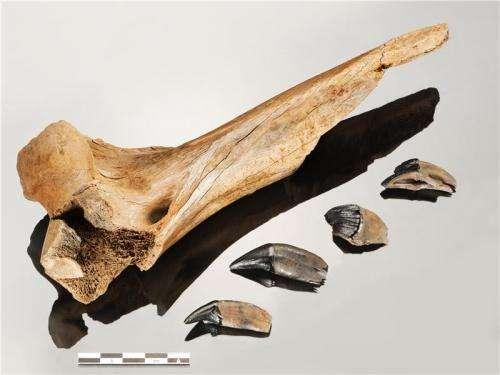 Humans and saber toothed tiger met at Schöningen 300.000 years ago