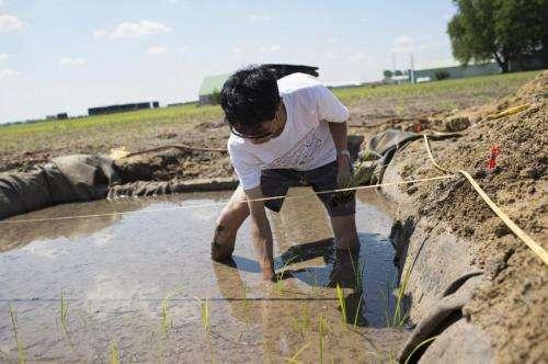 Illinois study may improve rice productivity
