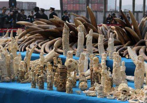 Ivory is displayed before being crushed during a public event in Dongguan, south China's Guangdong province on January 6, 2014