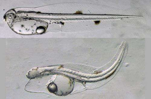 New study shows heart abnormalities in fish embryos exposed to Deepwater Horizon oil