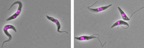 Key adjustment enables parasite shape-shifting