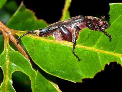 Leaf chewing links insect diversity in modern and ancient forests
