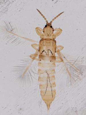 Litter-dwelling thrips live mainly in tropical and subtropical regions