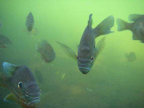 Longer catch-and-release time leaves largemouth bass nests more vulnerable to predators