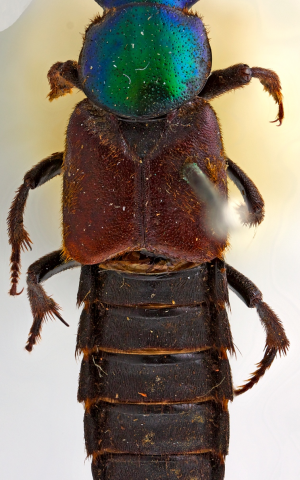 Lost and found: New beetle collected by Darwin 180 years ago published on his birthday