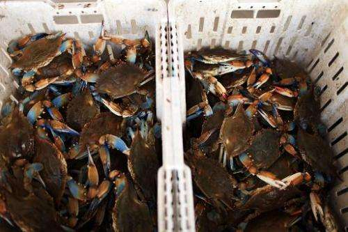 Louisiana blue crabs sit in the bottom of a container at a fish market in Westwego, Louisiana on June 17, 2010