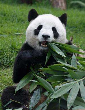 Macau female panda Xin Xin dies of kidney failure