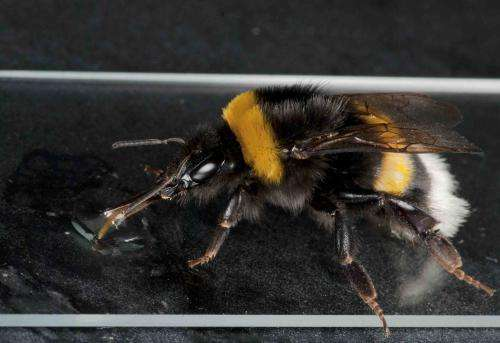 Managed honeybees linked to new diseases in wild bees