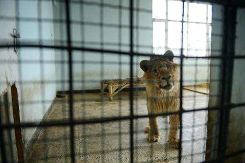 Marjan the lion looks out from his cage at the Kabul Zoo in Afghanistan on March 18, 2014