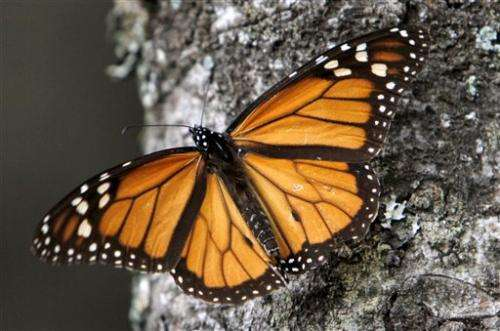 Monarch butterflies drop, migration may disappear