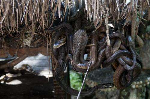 Myanmar is home to 40 venomous snakes, pictured are cobras at an enclosure at the city zoo in Yangon, on October 5, 2013