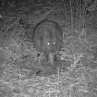 Native species may be hindering fox control efforts