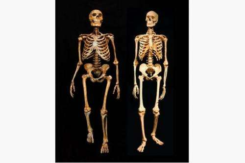 A Neandertal skeleton, left, compared to a modern human skeleton, right.