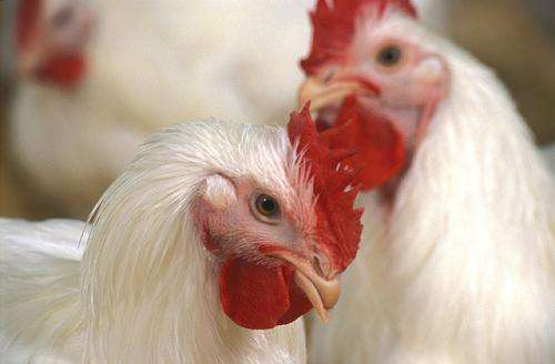 New avian influenza sampling method saves money