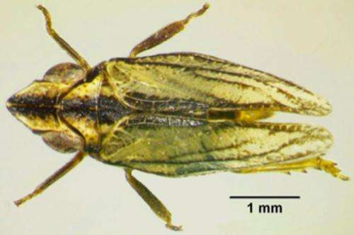 New planthopper species found in southern Spain