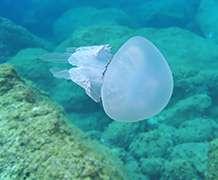 New report takes stock of jellyfish in UK seas