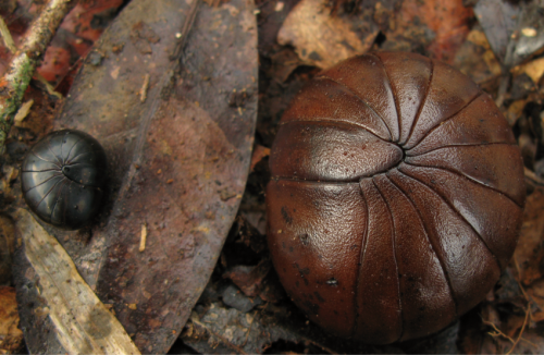 New species of ancient chirping giant pill-millipedes from Madagascar already threatened