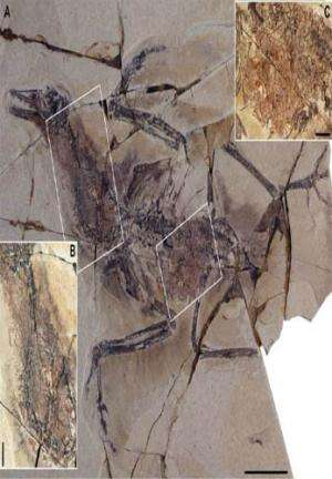New specimens of yanornis indicate a digestive system of living birds