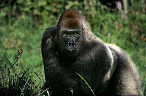 Odor communication in wild gorillas
