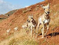 Oil and gas field development may affect Wyoming pronghorn population