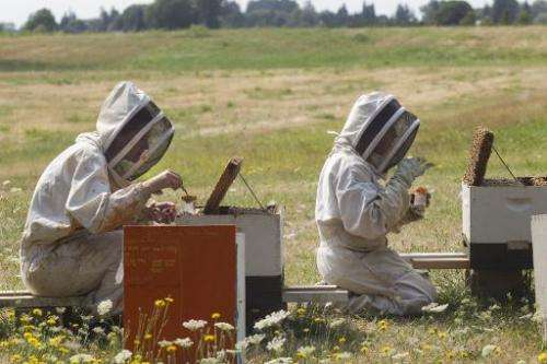 """Oregon State University bee researchers collect """"nurse bees"""" from hives outside on August 5, 2014 in Corvallis, Oregon"""