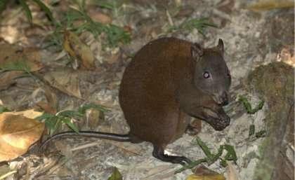 Rainforest essential for world's smallest kangaroo