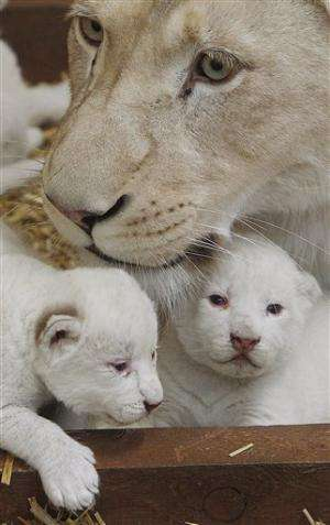 Rare white lion triplets born in Poland (Update)