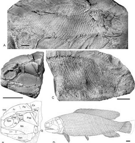 Re-examination of fukangichthys provides new insights into the evolution of early actinopteran fishes