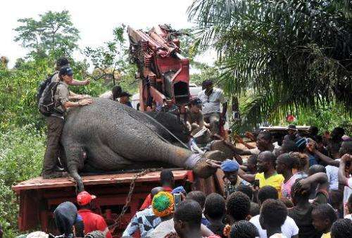 Residents crowd on January 22, 2014 in front of a tranquilized elephant captured by a team of the International Fund Animal Welf