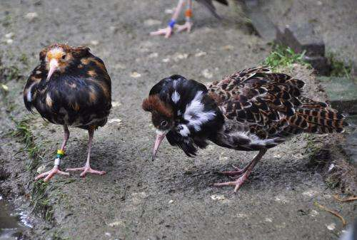 Ruff courtship a matter of genes